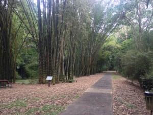 Prales v Cairns (bambus)
